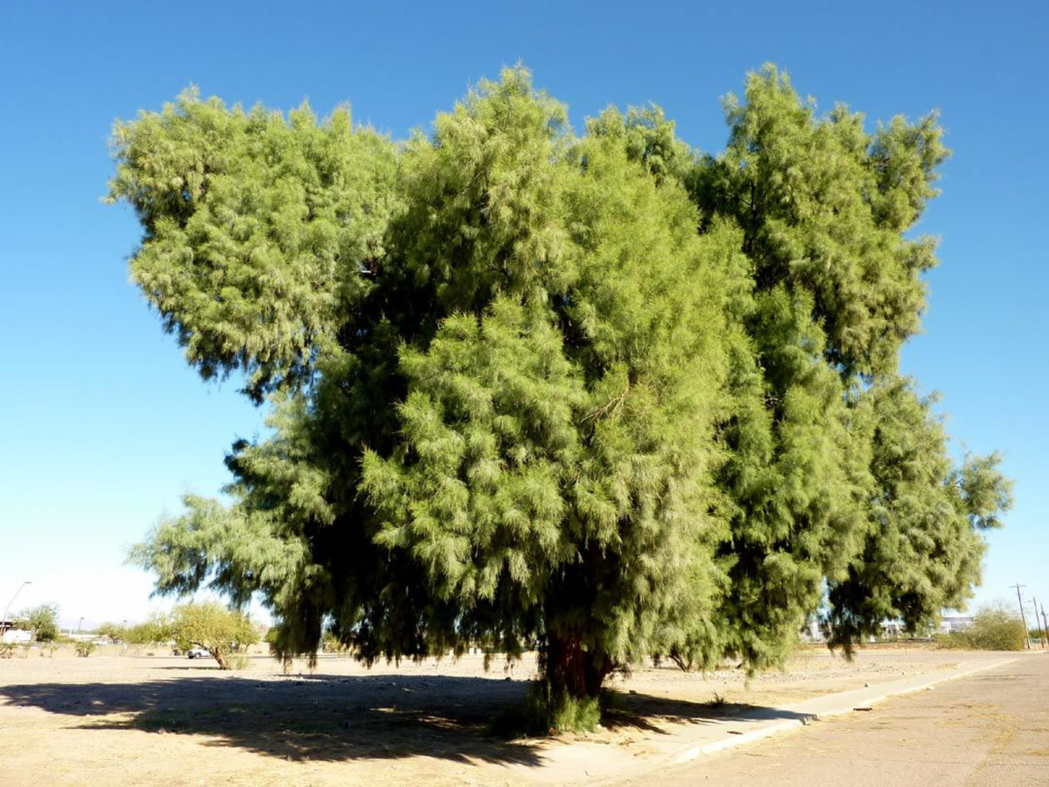 Genesis 21:33New King James Version (NKJV) 33 Then Abraham planted a tamarisk tree in Beersheba, and there called on the name of the Lord, the Everlasting God.